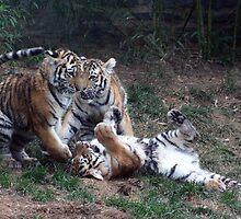 Three Tiger Cubs by Mark Van Scyoc