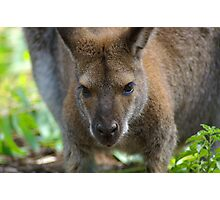Cute Wallaby Photographic Print