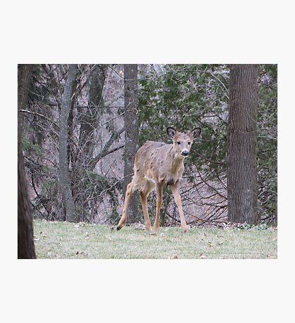 Okauchee Lake Deer Photographic Print