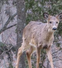 Okauchee Lake Deer Sticker