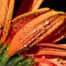 Orange sundrops. by Sherstin Schwartz