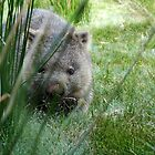 Wombat at Cradle Mountain by Madonna McKenna