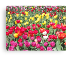 Two White Tulips Canvas Print