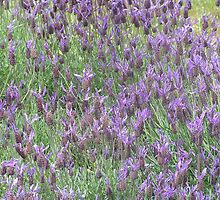 Wild lavender by heatherf