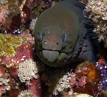 Moray eel by bennystoors