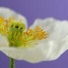 White Poppy by AngieBel