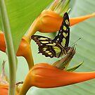 Malachite Butterfly by Teresa Zieba