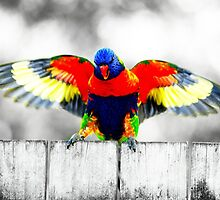 Gold Coast Rainbow Lorikeet by imageiamphoto