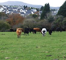 COWS IN PASTURE by WINTERROSE