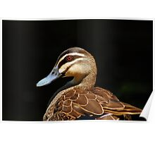Pacific Black Duck Poster