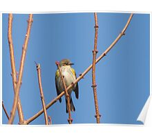small pretty colorful bird Poster
