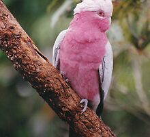 Galah by smallan