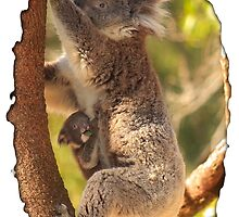 Koala & Cub - Western Australia by Dave Catley