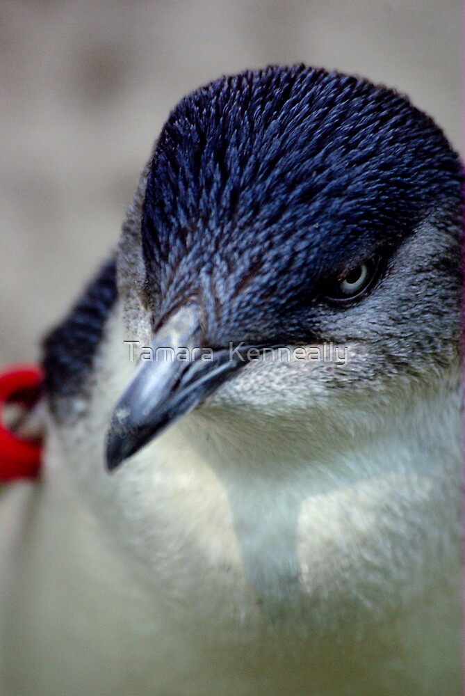Fairy Penguin by Tamara  Kenneally
