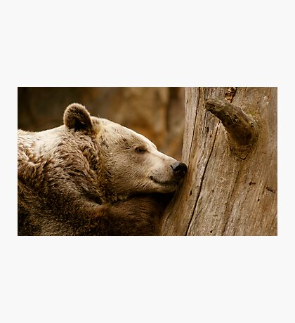 Sleeping Brown Bear Photographic Print