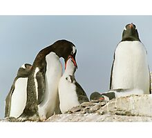 Gentoo Feeding Photographic Print