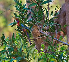 Crimson rosella in my front yard by RyePixels