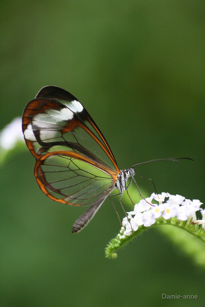 Glasswing by Damie-anne