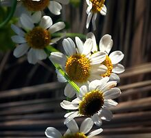 daisies by petrosyan
