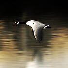 Duck flying by Luis Barreto
