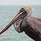 Pelican in Florida by Gaby Swanson  Photography