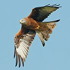 Red Kite by Mark Holderness