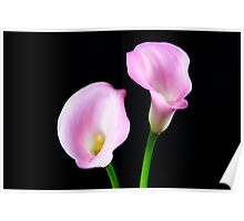 Two Pink Calla Lilies Poster