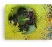 Bush Wasp in a yellow Bottle Brush Canvas Print