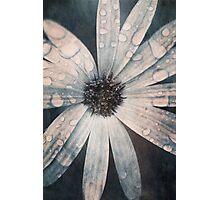 Still life of daisy with rain drops Photographic Print