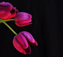 purple tulips by pdsfotoart