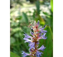 Handsome  Meadow Katydid Nymph Photographic Print
