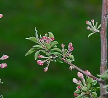 apple blossoms by Gale Distler