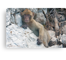 ...monkey business....   Canvas Print
