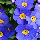 spring blue flowers. beautiful color. floral photography. by naturematters