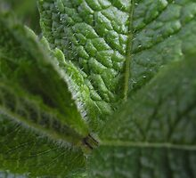 Mint by Maryanne Lawrence