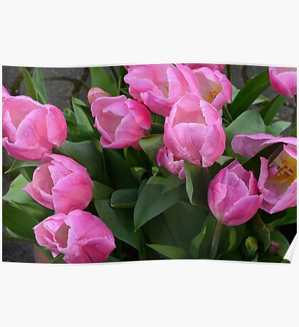 spring pink purple tulip flowers. floral garden photography. Poster