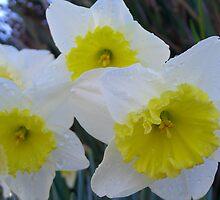Sunny Daffodils by Cheryl  Lunde