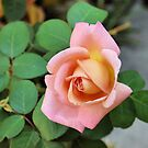 A Rose by Jawaher