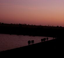Cows at the dam in the early evening light. by Marilyn Baldey