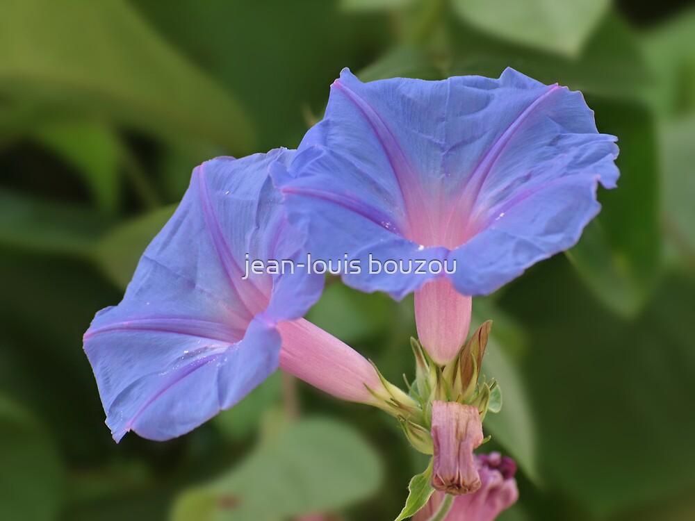 Morning glory flowers... by jean-louis bouzou