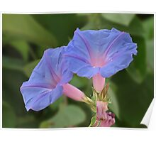 Morning glory flowers... Poster