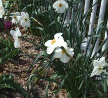 Spring Narcissus Sticker