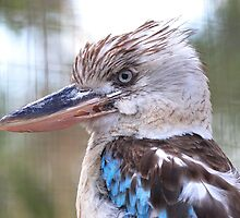 Blue Winged Kookaburra V by Tom Newman