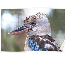 Blue Winged Kookaburra V Poster