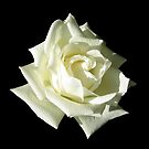 White Rose by Linda More
