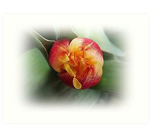 Single tulip  Art Print