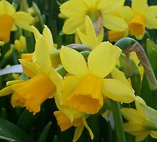 Little Yellow Daffodils by jartcreations