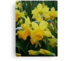 Little Yellow Daffodils Canvas Print