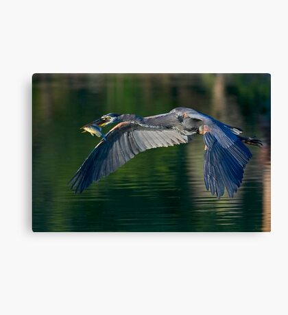 6-12-08 Great Blue Heron Canvas Print
