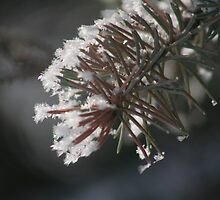 Frost So Fine On Pine by Stephen Thomas